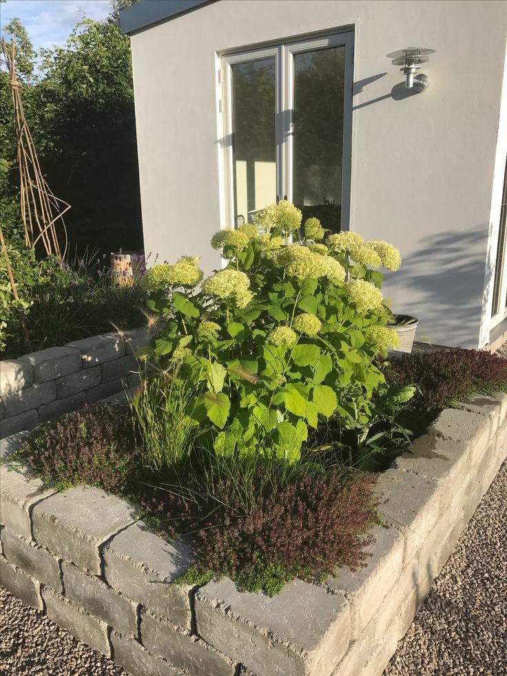 Vidjehortensia i odlingslåda, Hydrangea arborescens 'Annabelle'