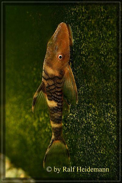 "- Nannoptopoma sp. ""Peru"" by Ralf Heidemann on L-Welse.com database"