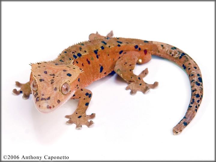 Dalmation crested gecko!