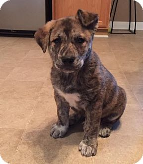 Husky/Boxer Mix Puppy for adoption in Detroit, Michigan - Lennox