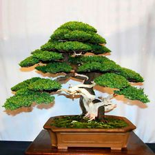 Shop from the world's largest selection and best deals for Bonsai Seeds. Shop with confidence on eBay!