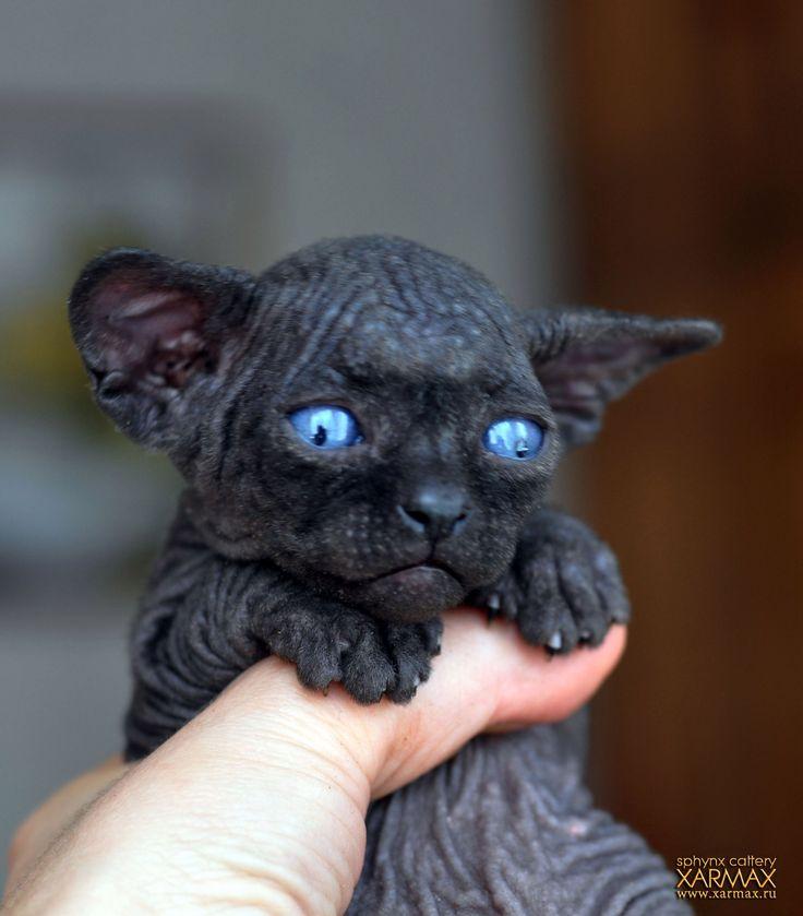 Black sphynx kittens for sale!