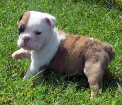 Micro Teacup Bulldogs | Micro Teacup English Bulldog ... | 400 x 344 jpeg 31kB