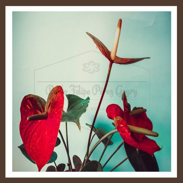 Photo Contextus  ©Pablo Felipe Perez Goyry: 53 Anthurium Photography Digital ©Pablo Felipe Pér...