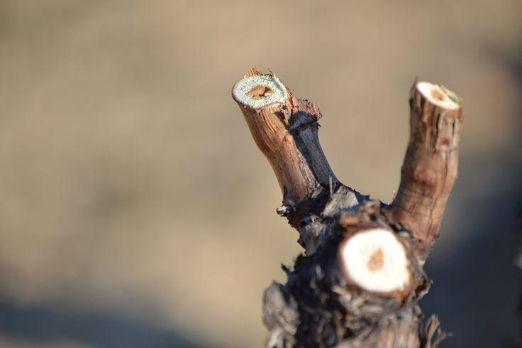 Poda en viñedo de Lanciego. #Wine #Rioja