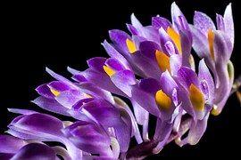 Orchidea Selvaggia, Orchidea, Fiore