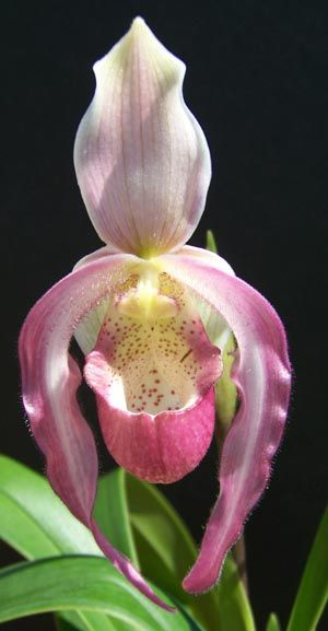 Orchid - Phragmipedium Acker's Charm/pink lady's slipper...which the deer love to eat by the way.