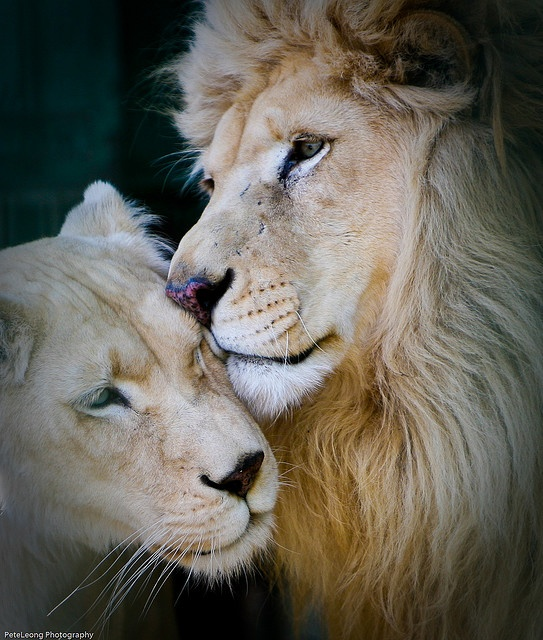 I just really like lions.