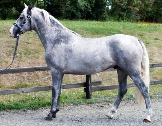 Spanska Hästar på Fenix Park