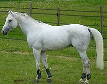 Anglo-Arabian  A gray Anglo-Arabian,  Distinguishing features :Well-formed, powerful, good gaits, sport horse characteristics. Combines traits of both Arabian and Thoroughbred breeds.  Alternative names Anglo-Arab  Country of origin Worldwide, most popular in the United Kingdom, France, and the United States  Breed standards  Association Nationale Anglo-Arabe Breed standards  Arabian Horse