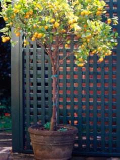 how to grow lemon verbena in a pot