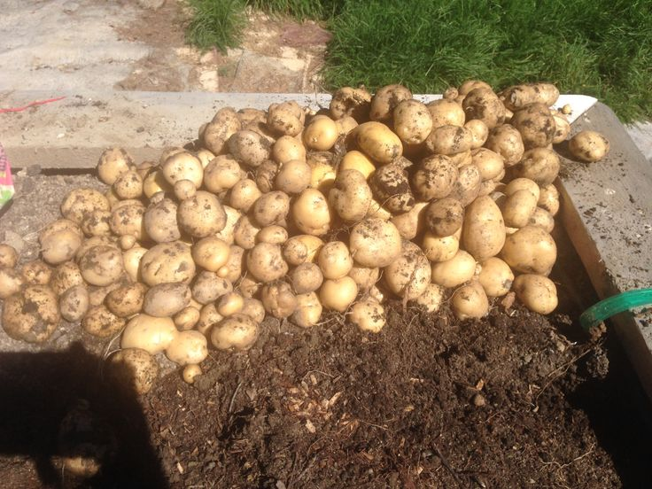 part of the potato crop from one raised bed