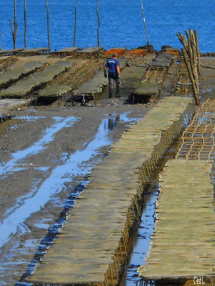 Ostréiculteur travaillant à marée basse Cap Ferret (Gironde) France