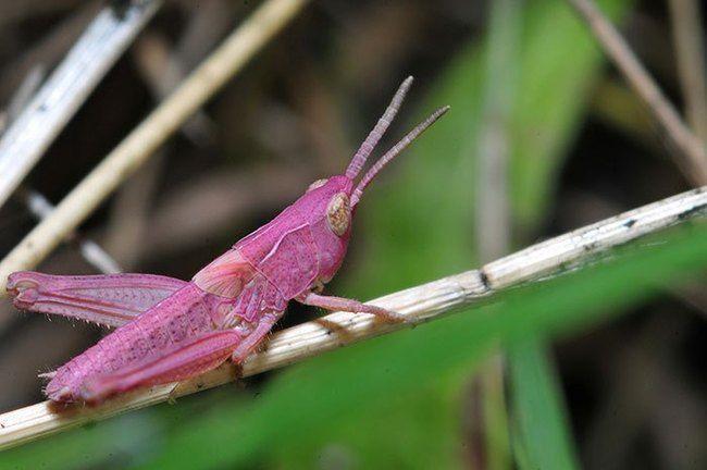 Pink grasshopper – OMG! How Cute!