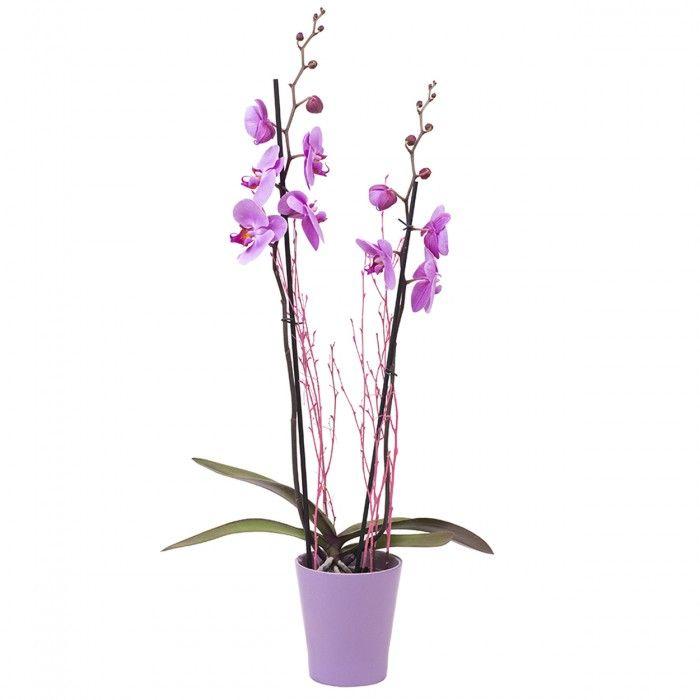 Planta Orquídea Phalaenopsis Morada. La Phalaenopsis comúnmente conocida como Orquídea es una planta alargada que florece varias veces al año. Es un detalle ideal para demostrar el afecto a una persona querida que se sorprenderá por la gran belleza y sutileza de esta planta.