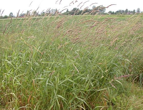 AgroAtlas - Основные сельскохозяйственные культуры - Phalaroides arundinacea (L.) Rauschert.- Канареечник тростниковидный, двукисточник, шелковая трава, житовник.