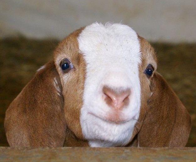 """Hi.""   22 Goats Smiling At You"