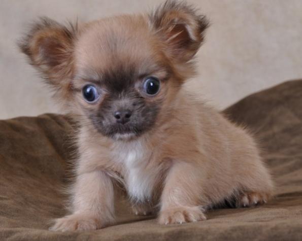 Au Coup de Patte - Chihuahua poils longs MINI brun male