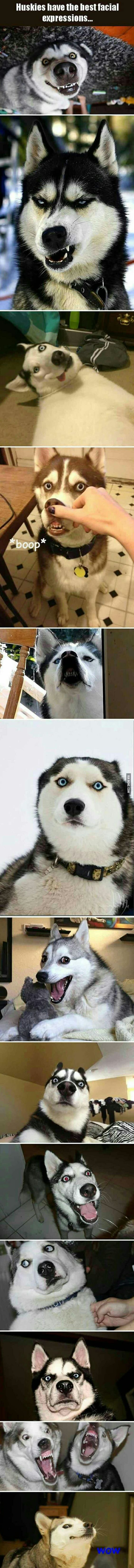 Huskies have the best facial expressions...