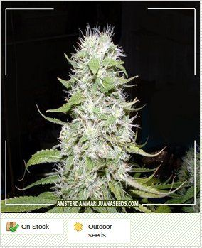 If you like a taste of the exotic then you need look no further than Hawaii Skunk that combines those wild tropical genetics with classic Skunk taste and smell.
