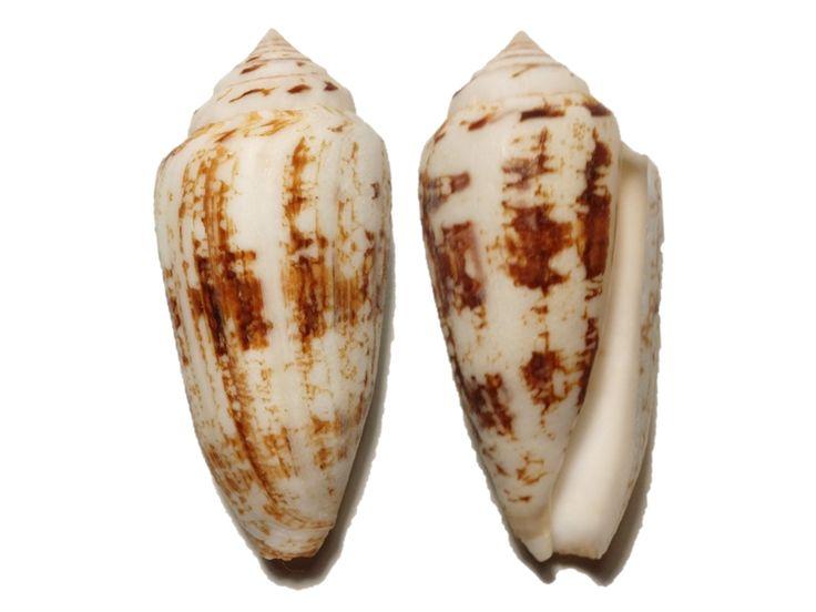 Conus victoridae, WA (17.7g)