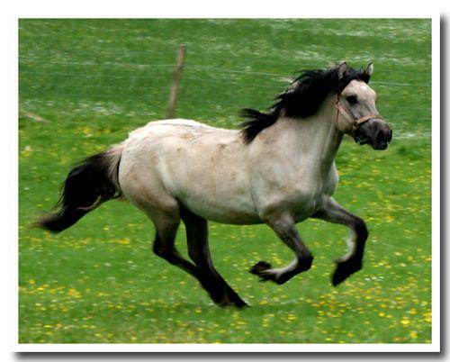 Highland ponies for sale, highland pony youngstock for sale, highland pony photos, scotland