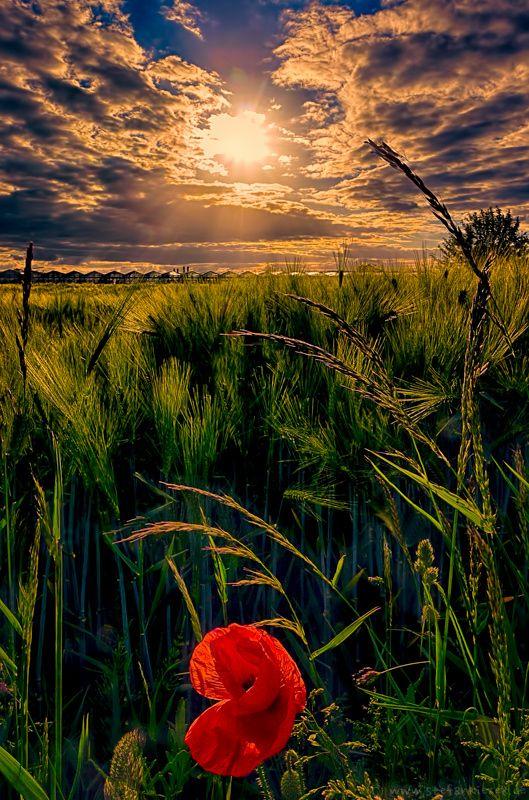 Lonely poppy by Stefan Kierek on 500px  )
