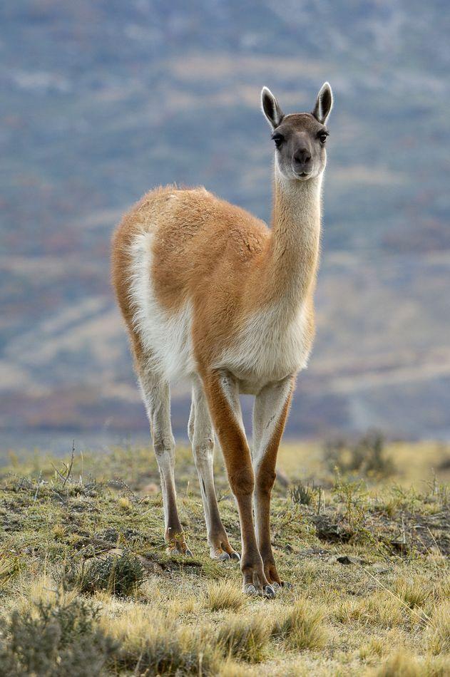 Guanaco, Llama guanicoe, a relative of the camel, native to South America