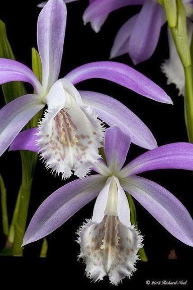 A Beleza Das Orquídeas - Comunidade - Google+