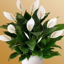 Tanaman Peace Lily (Spathiphyllum)