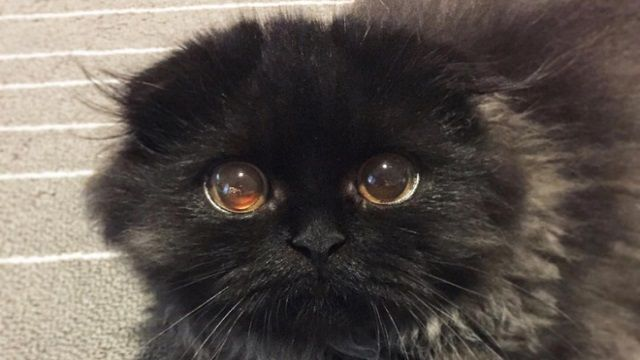 Diese entzückende Katze fängt Ihr Herz mit seinen großen runden Augen ein!   – Gimo the most mystical kitten.
