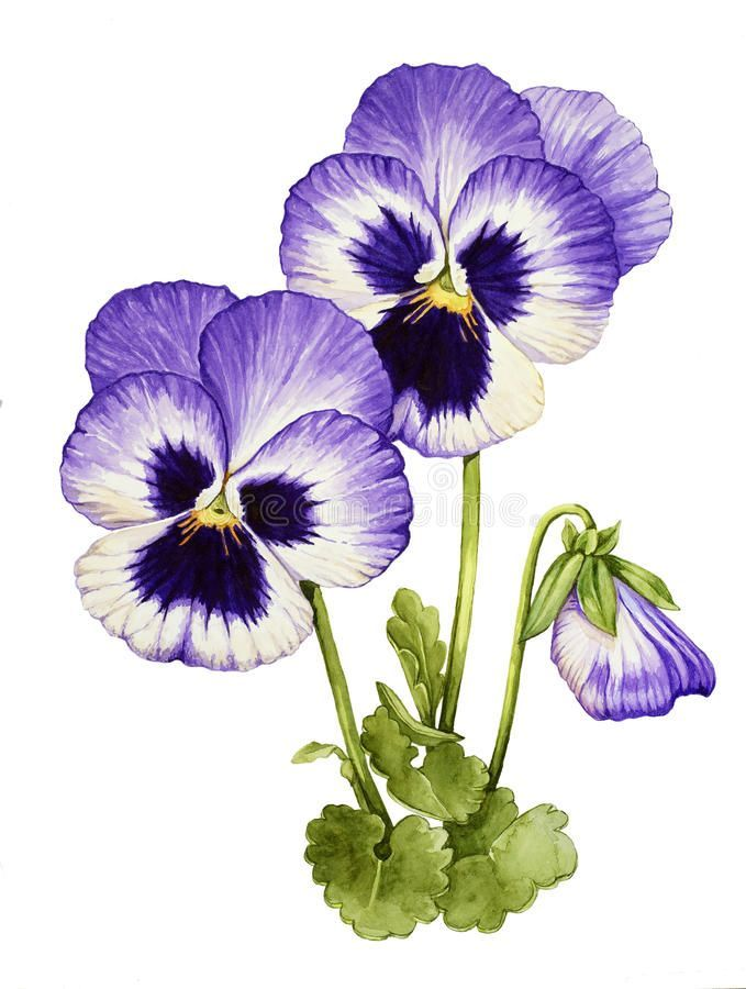 Pansies Illustration Roses In 2020 Pansies Art Pansies Flowers Watercolor Flowers