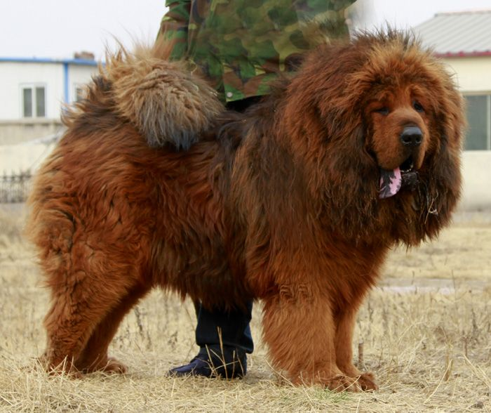 62 best images about Tibetan Mastiffs & Caucasian Ovcharka ...