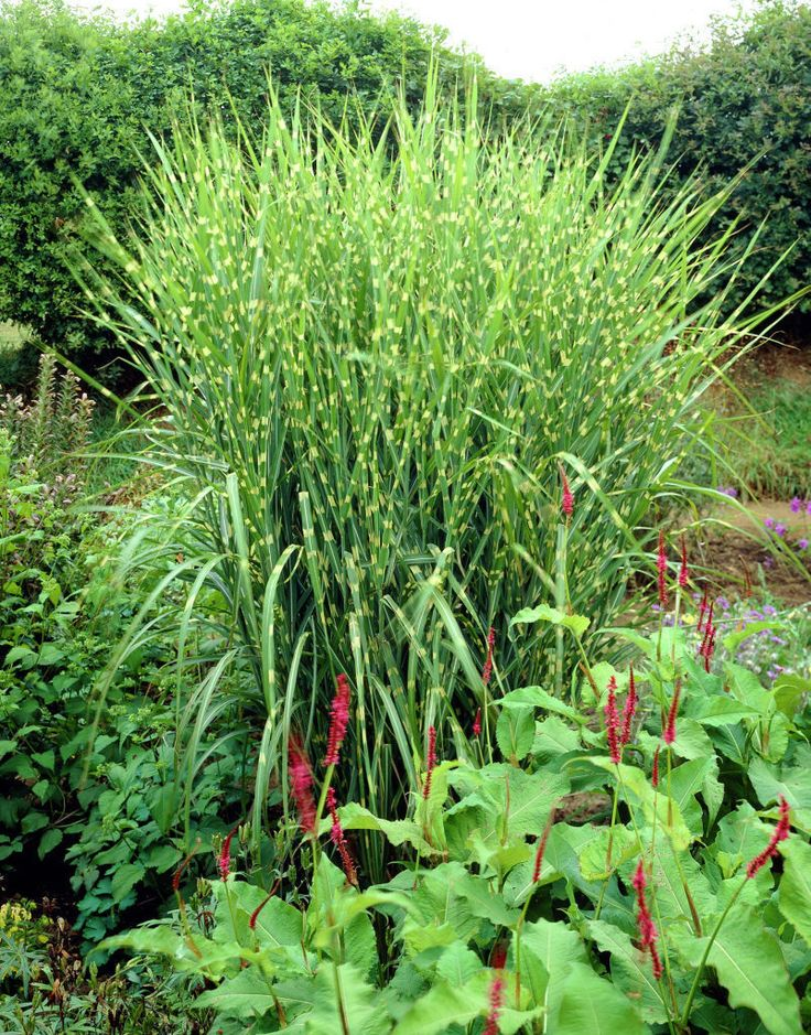 54 best ornamental grasses images on pinterest for Outdoor tall grass plants