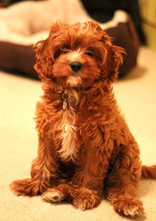 Cavalier King Charles spaniel and poodle mix.  This puppy looks so much like my little dog CoCo. The markings are very similar but CoCo is a beautiful chocolate color.