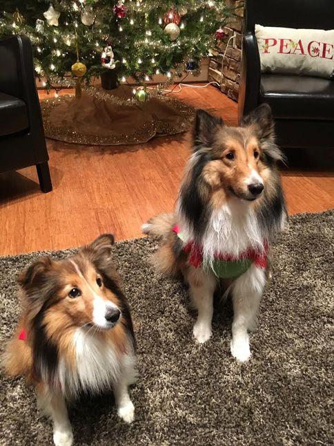 Shelties on Christmas