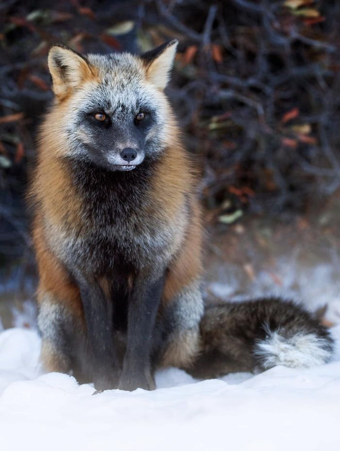 Fire Fox A Very Rare Animal On Our Planet 9gag In 2021 Melanistic Animals Melanistic Pet Fox