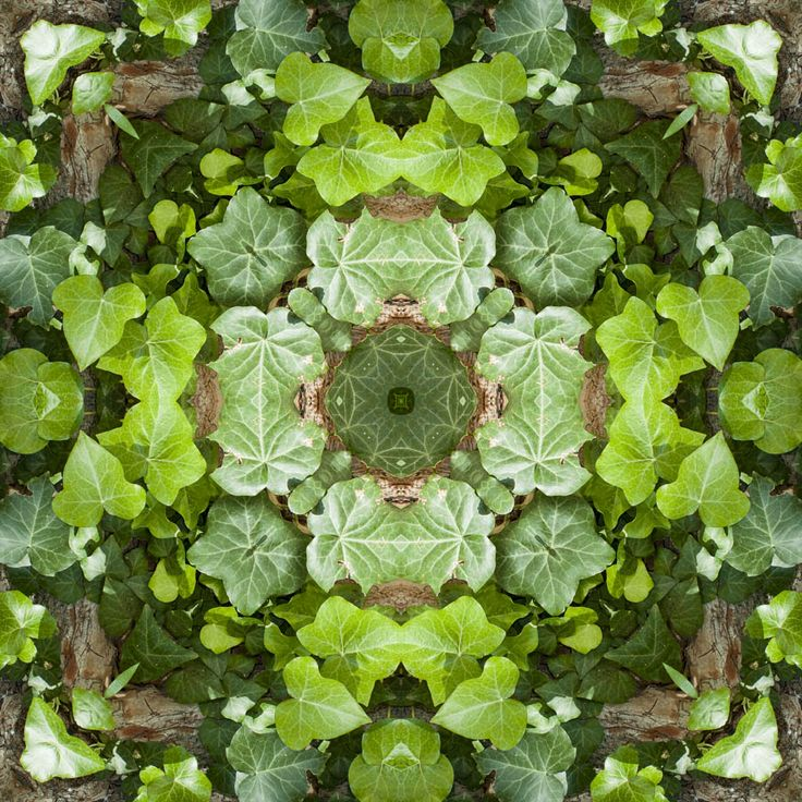 Ivy Leaf Mandala 52 cm x 52 cm http://julianventer.com/galleries.html Share if you Like ©julianventer