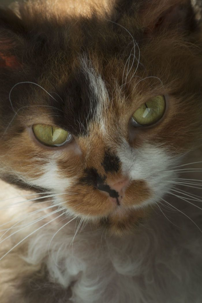 Closeup of a LaPerm cat