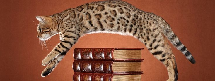 10 000 For A Cat The Secret World Of Bengal Cat Breeders 10000