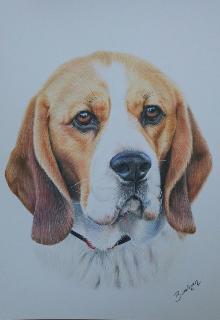 Beagle portrait in coloured pencils by Katie Bowman www.personalartwork.co.uk