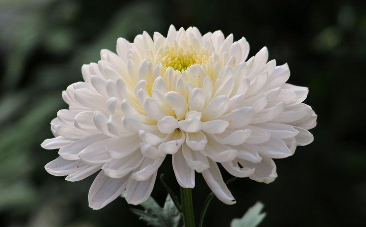 White chrysanthemum flowers, image: kucuu.com