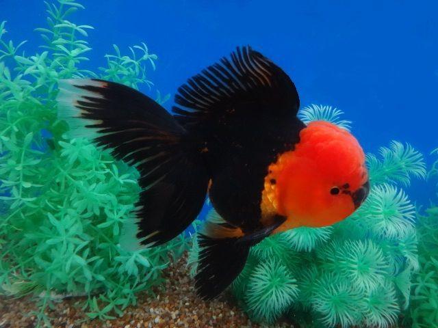 Black red hood oranda aquarium fish fancy goldfish for Best freshwater aquarium fish combination