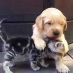 This adorable kitten and golden retriever puppy meet and just love each other.