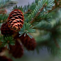 Pine Cones Fragrance Oil- Our Pine Cones fragrance oil captures the unmistakable scent of a fresh cut pine bough and pine cone wreath. Notes of balsam and patchouli combine with natural spruce and cedar oils to instantly put you in a holiday frame of mind.