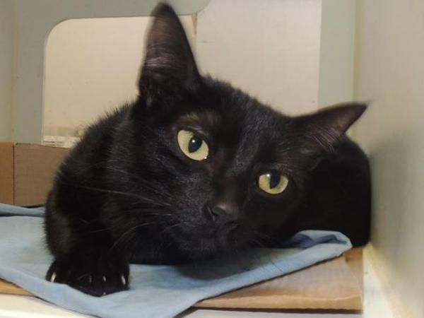 ***TBD UNKNOWN STATUS  07/07/16***  EBONY ROYALTY TOSSED FROM HER KINGDOM FOR ALLERGIES!!...A volunteer writes: Princess should be a member of a royal family with her lovely coat and eyes the color of the sun at its high point in the sky! She is alert and loves to keep track of what is going on around her . This young lady would bring so much happiness to the family lucky enough to adopt her.....ALREADY SPAYED, ONLY 11 MONTHS OLD! BEGINNER RATED!! DUST OFF THE THRONE AND BRING THIS LADY…