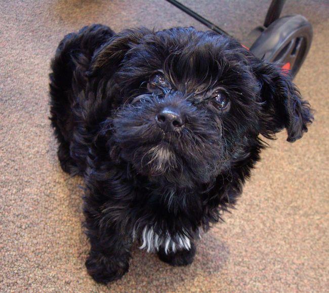Black Yorkie Terrier Mix 85221 Loadtve