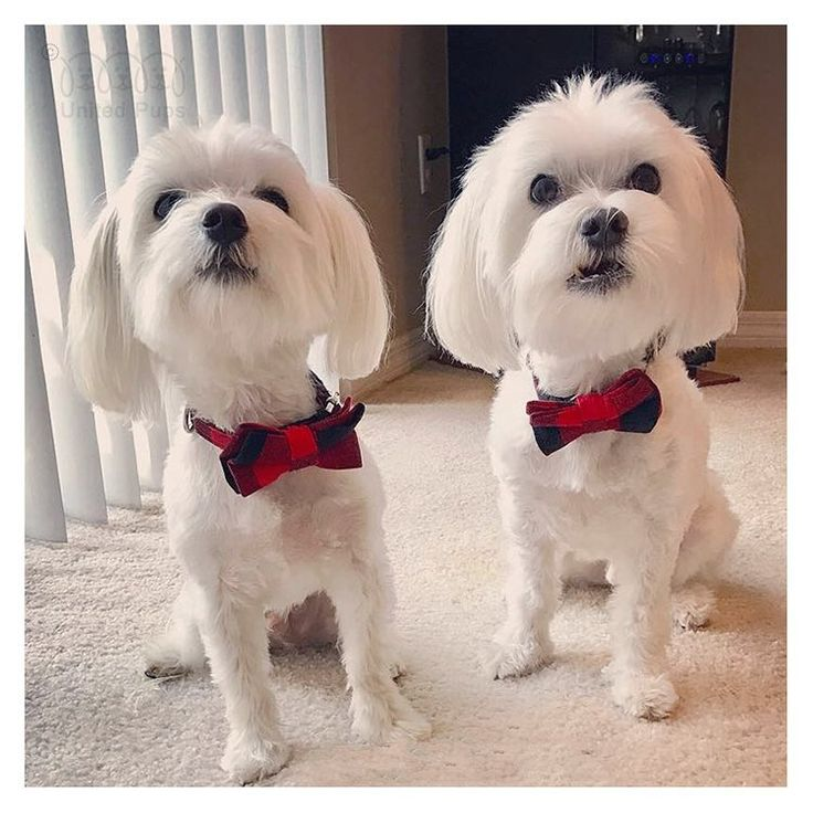 Here are two princes✨! Their names are Bo-Bo and Do-Do (@ayu915) ! Aren't they the cutest brothers? ・・・ Bow tie into www.unitedpups.com/cool ・・・ #brotherlylove #bowties #handsomeboy