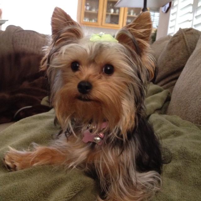 My Yorkie Puppy