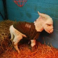Donny, het Ierse veulentje The Donkey Sanctuary  Veulentjes komen ter wereld zonder een actief immuunsysteem en moeten dus de eerste moedermelk (Colostrum) drinken.